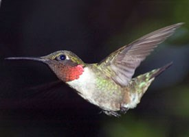 ruby_throated_hummingbird_glamor